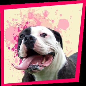 Amélie, Bulldog Américain