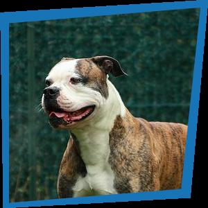 Brennus, Bulldog Américain