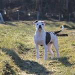 bulldog-americain (1)