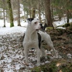 bulldog-americain (2)