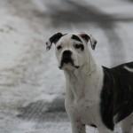 bulldog-americain (3)