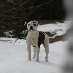 bulldog-americain (5)