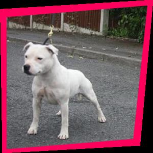 Desire Love du Tingshire, Sraffordshire Bull Terrier