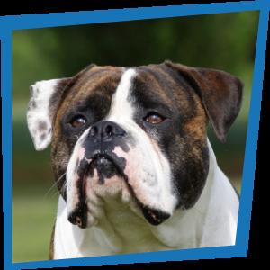 George, Bulldog Américain