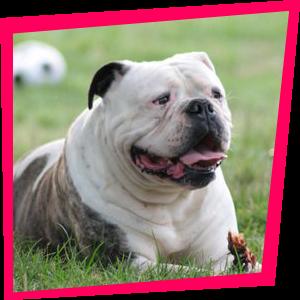Georgia, Bulldog Américain
