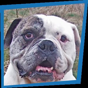 Rocky, Bulldog Américain