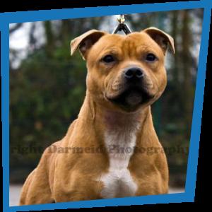Wyrefare The Governor, Sraffordshire Bull Terrier