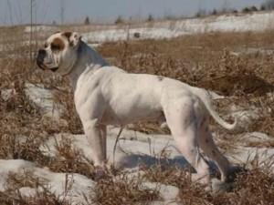 american bulldog Jacqu-o-vation