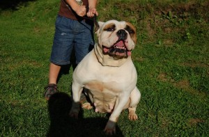 Andie : american bulldog