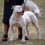Maman de Kombo, Bulldog Américain